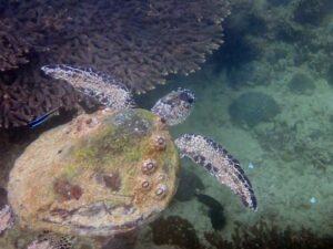 Green turtle with excessive barnacles, Oman