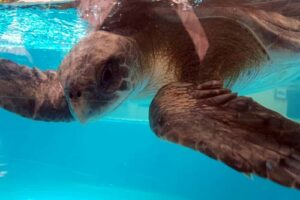 Olive ridley turtle suffering from buoyancy syndrome, ORP Rescue Centre, Maldives