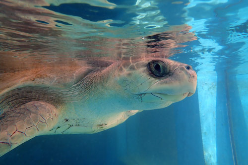 Ghost net victim and flipper amputee, olive ridley turtle Azura, Maldives, image
