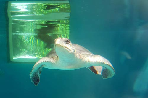 Olive ridley turtle patient Chrissi in the tank at the ORP Rescue Centre Maldives