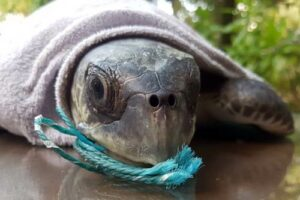Olive ridley turtle Elba swallowed fishing net during her entanglement ordeal, Maldives
