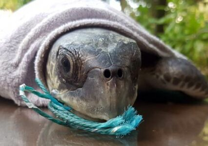 ORP Turtle Patient Update Issue 6|2019