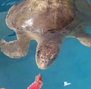 Turtle patient Lynn has finally started eating