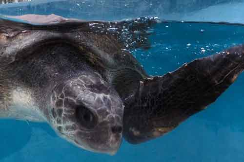 Olive ridley turtle patient Thomas at the ORP Turtle Rescue Centre Maldives