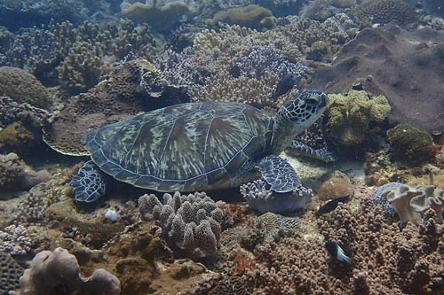 A green turtle resting on a reef, Kenya. Adopt a turtle in Kenya. Image.