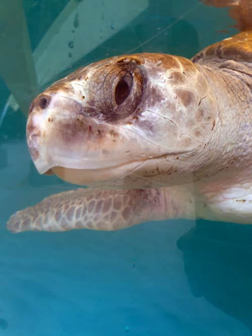 Olive ridley turtle Lucky at ORP Turtle Rescue Centre Maldives