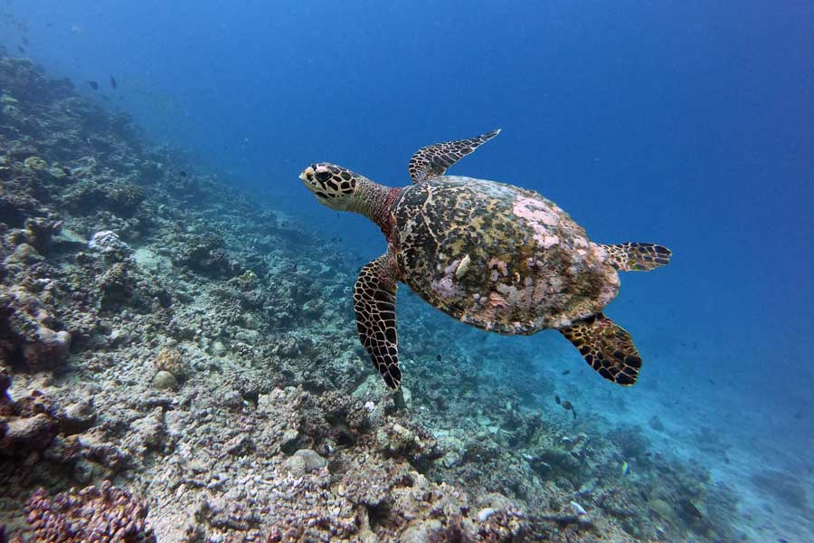 Hawksbill sea turtle, Maldives