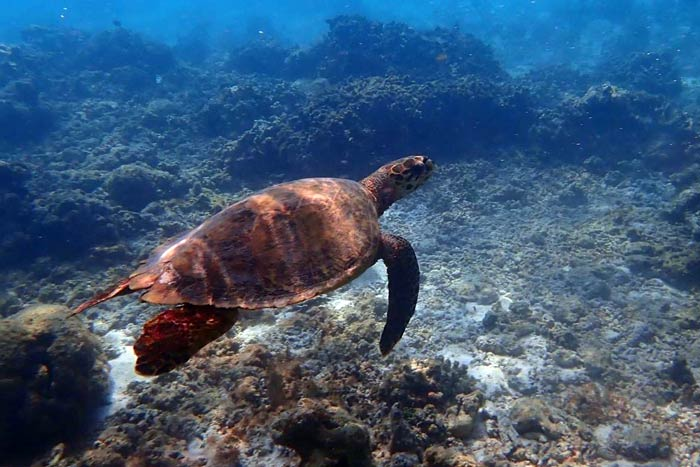 Hawksbill turtle Zathura, named by the students from Immaduddin Scholl, Maldives.