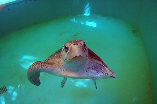 Ghost gear victim and flipper amputee, turtle patient Mascha, an olive ridley, in her tank, image