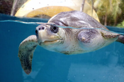 ORP Turtle Patient Update Issue 5|2020