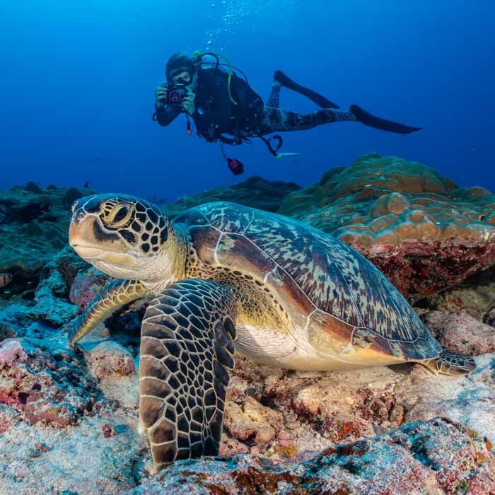 Women in science: Jo Goodfellow at work photo-id'ing a green turtle in the Maldives.