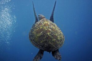A green turtle swimming in the blue ocean with four pairs of lateral scutes clearly visible on the shell, image.
