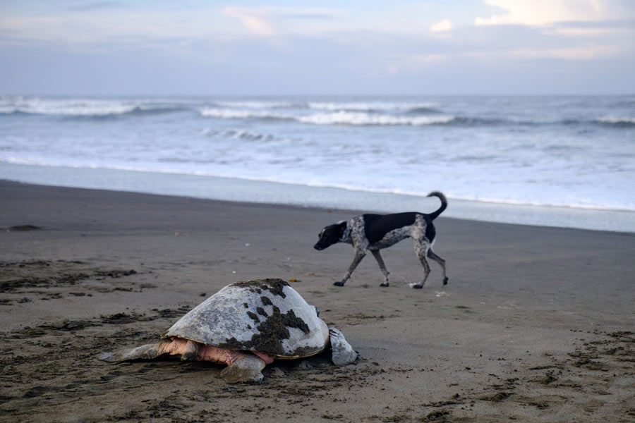 A feral dog patrolling the beach as an olive ridley turtle returns to sea after nesting. Image.