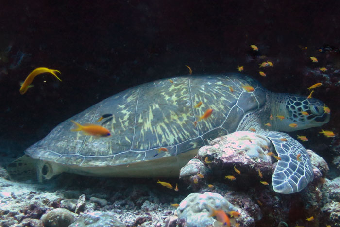 A female green turtle missing a back flipper on a reef, Maldives. Image.
