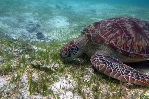Green sea turtles seek out shallow sea grass lagoons where the water is warm, such as this one in Maldives. Image.