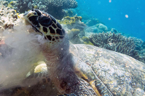 A hawksbill turtle making a meal of a jelly fish, Maldives. Image.