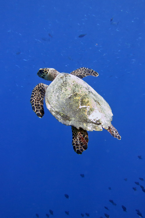 Hawksbill turtle swimming in the blue surrounded by fish. Image.