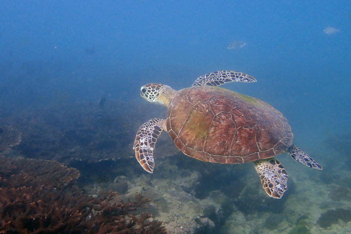 Green turtle swimming neat a reef, Oman. Image