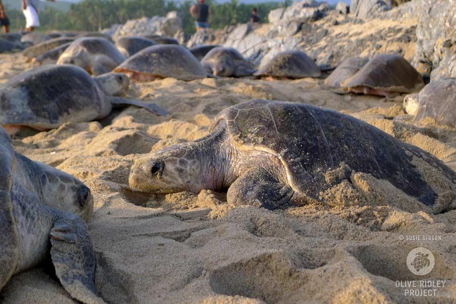 Olive ridley turtles nest together in a mass nesting event called an arribada, here from Mexico. Image.