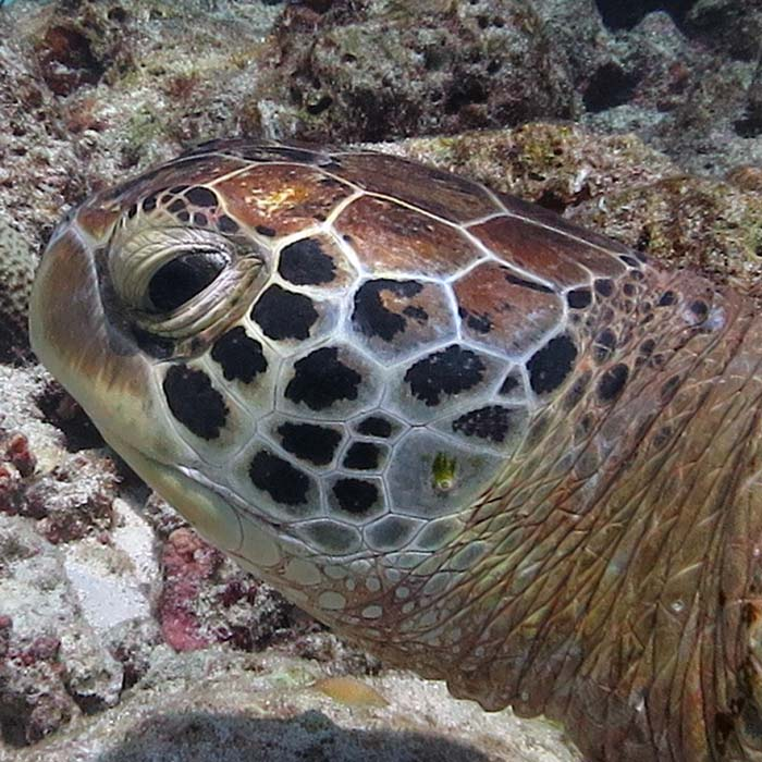 Male green turtle left profile, Lhaviyani Atoll, Maldives. Image.