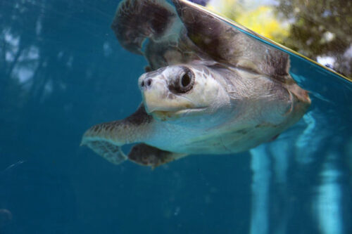 Turtle patient Arti in his tank at ORP Turtle Rescue Centre. Image.