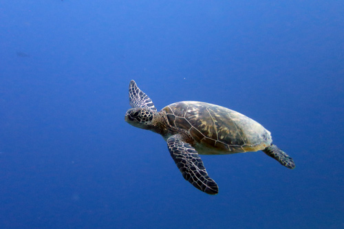 Green sea turtle swimming in the blue, Maldives. Image.