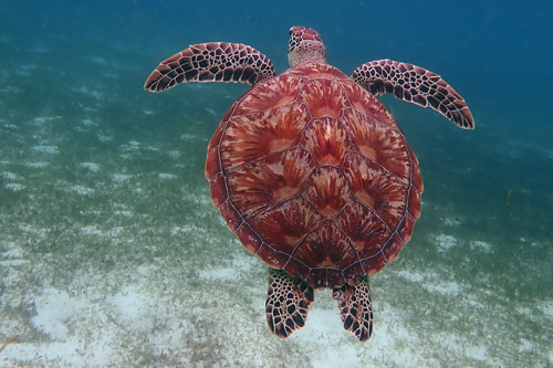 How the turtle got its shell - turtle shell as seen on one exemplary green turtle, image.