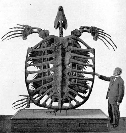 Fossil skeleton of giant Cretaceous turtle Archelon ischyros, image