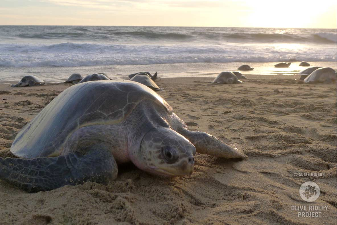 Olive ridley turtle nesting during arribada event, Mexico. Image.