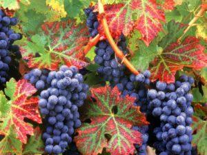 Şaraplık Üzüm Çeşitleri