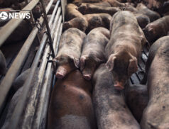 Irish Government criticised over plans to fly pigs to China