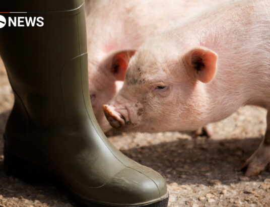 """UK Government """"wants to protect pig farmers"""" during crisis"""