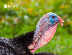 NI turkey farmers say panic buying in the UK had led to increase in demand