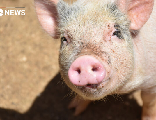 UK Pig farmers tell Prime Minister to relax immigration rules
