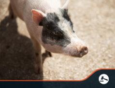 Abattoir shortage results in UK farmer killing piglets