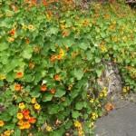 The Nastersham Garden