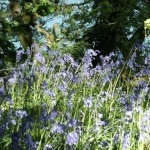 May Bluebells