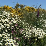 A Pembrokeshire wildflower hedge in June with dog daisies, gorse, pink campion and foxglove
