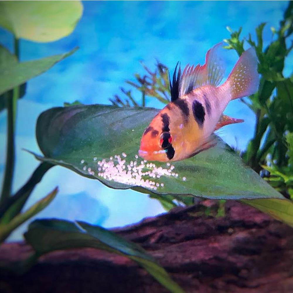 aquarium ram