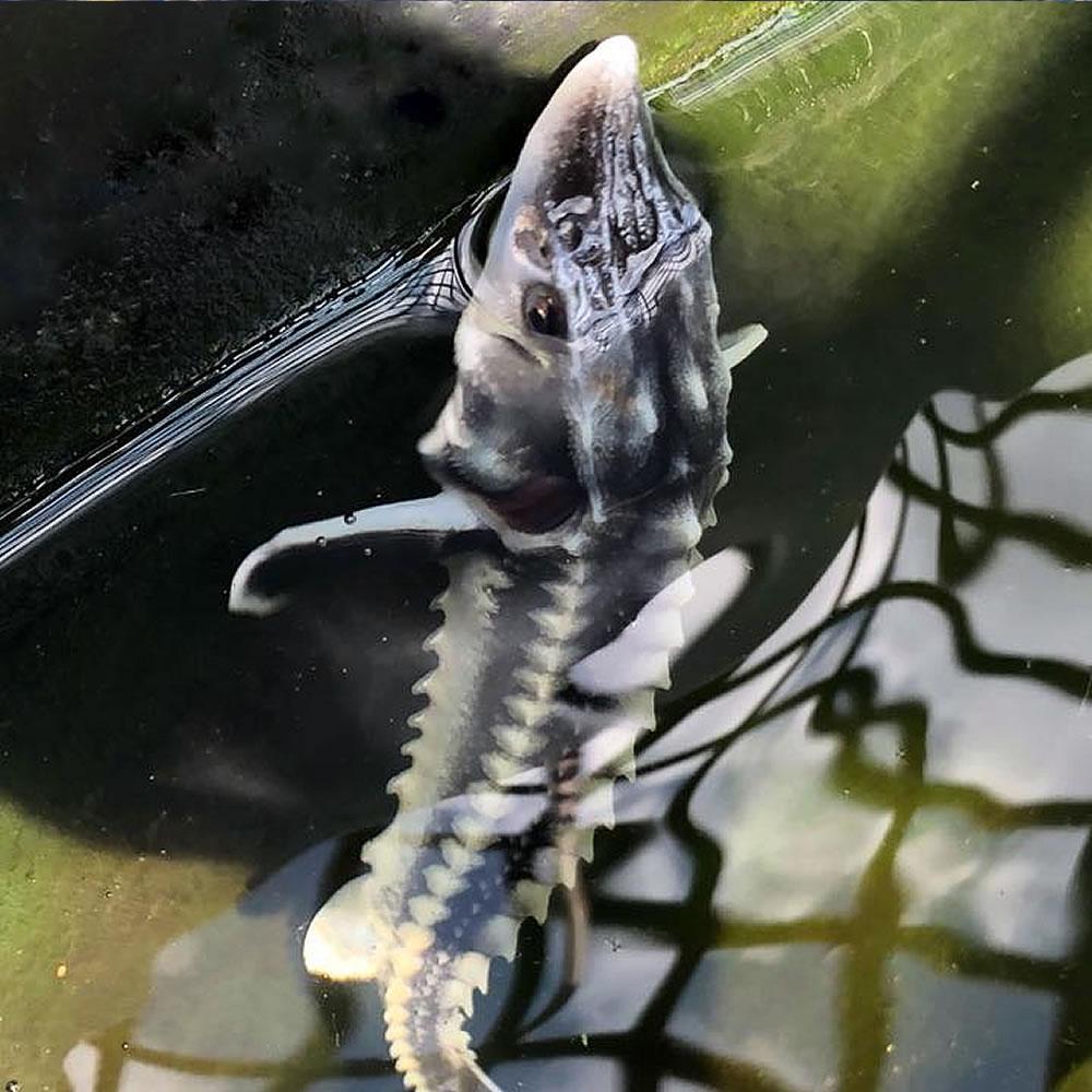 pond sturgeon