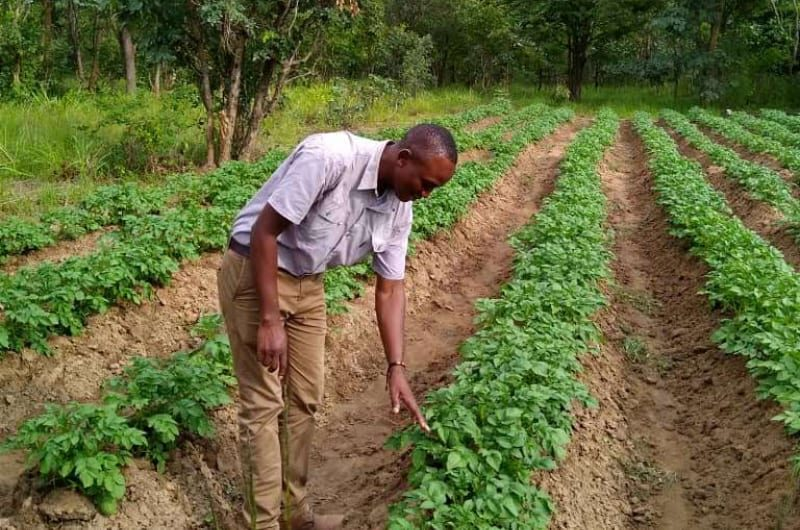 A farmer studies his thriving potato crops now irrigated with an Impact Pump