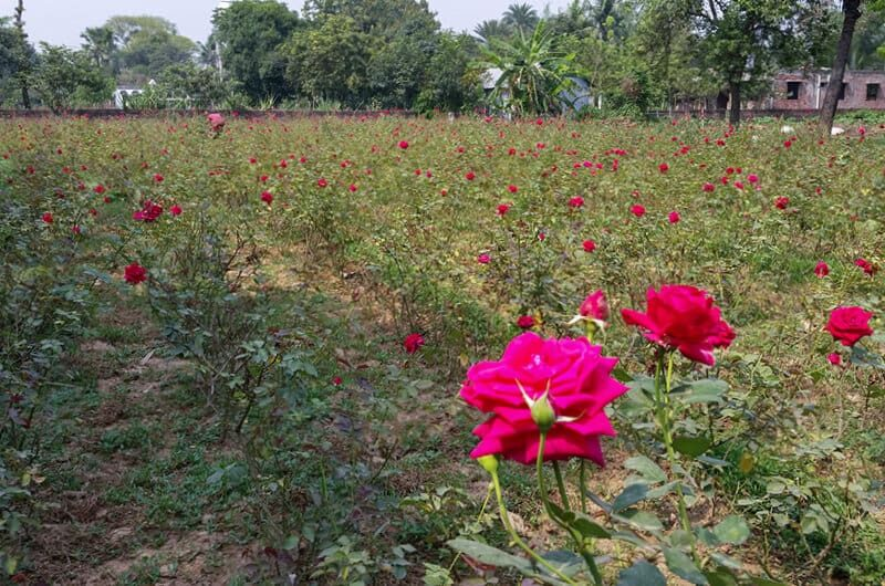 A field of roses in Bangladesh irrigated by an Impact Pump