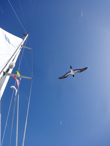 Brown Booby. Thanks to Dr. Stephen (Maturin) Williams for leaving his wildlife books on board.