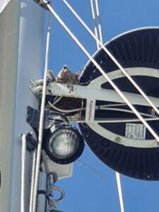Collared doves nesting between the radar and the mast. You can just see the tail of a second chick