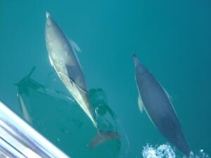 Dolphins off Lundy