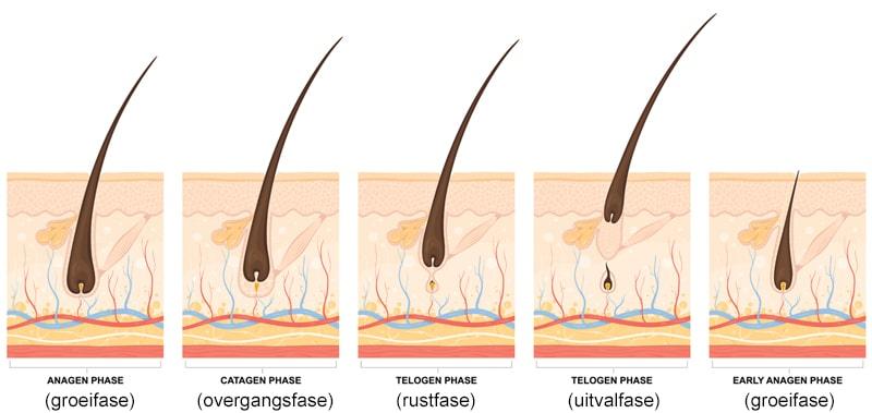 De groeifases van het haar