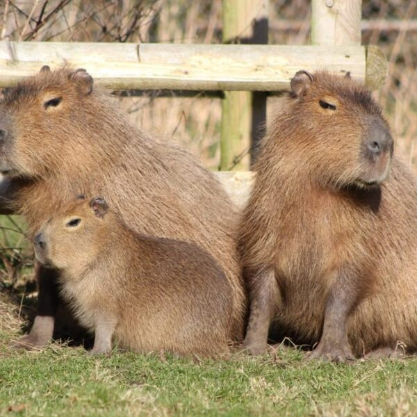 Drayton Manor Zoo Capybara