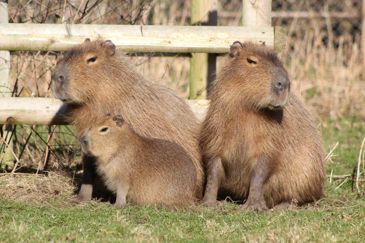 Drayton Manor Park's Capybara Family pose for Mother's Day