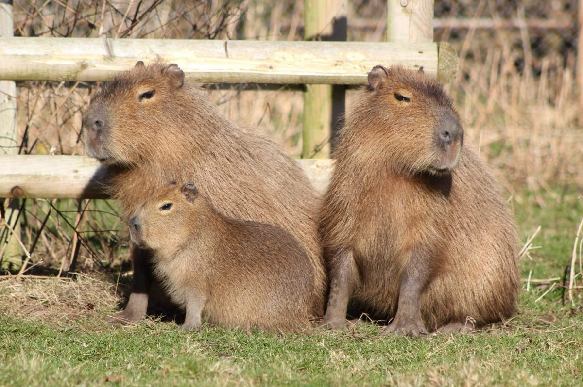 Drayton Manor Park's Capybara Family pose for Mother's Day