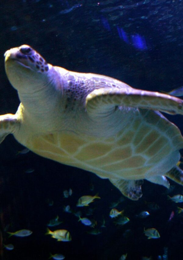 Manchester Sea Life Turtle on Weight Loss Mission for January